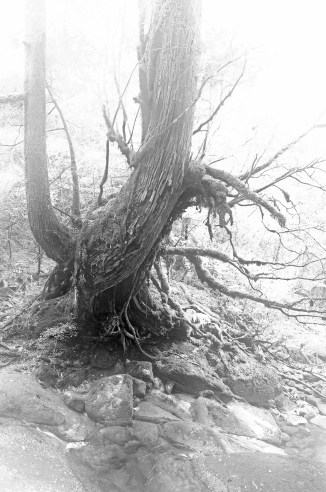 Black and White photo of a Japanese cedar tree in the fog, Yakushima island, Japan