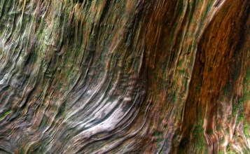 Closeup photo of twisted Japanese cedar tree on Yakushima island, Japan