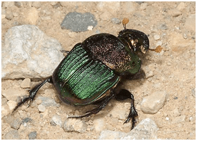 Dung Beetle | Top 10 strongest animals