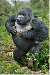 Gorilla | Top 10 strongest animals