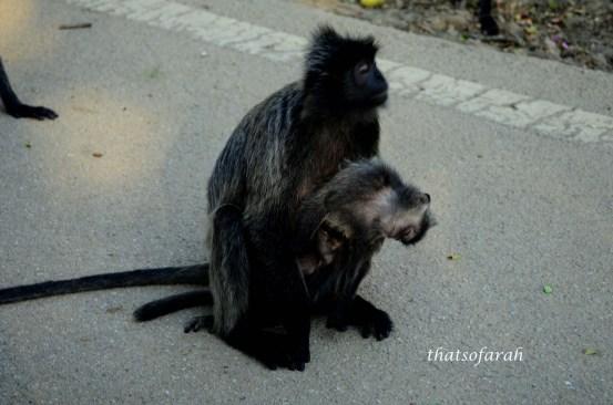 A mother monkey holding dead monkey