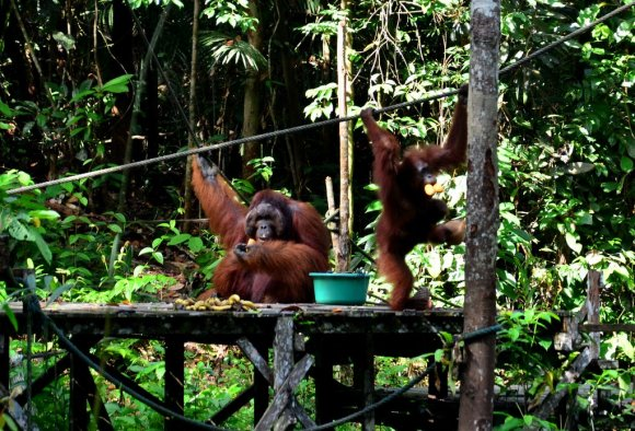 Richie - Semenggoh Wildlife Centre