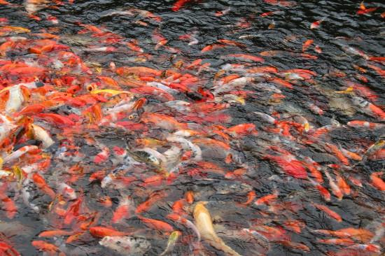 Chinees_garden_Singapore_fish