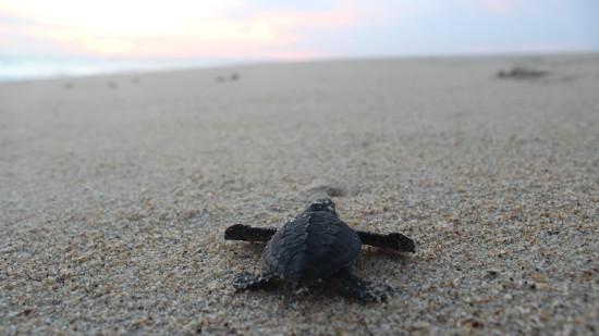 sea-turtles-mexico-puerto-escondido-release