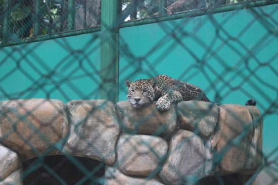 Olmec-The spotted jaguar of La Venta