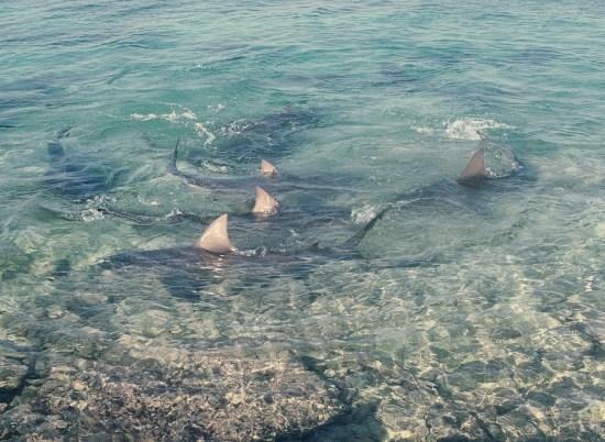 bull sharks-Albert Kok
