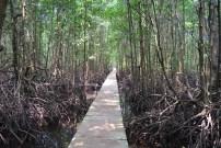 Manglares en Koh Kong. 1 kilómetro de paseo construído sobre ellos permite dar un curioso paseo.