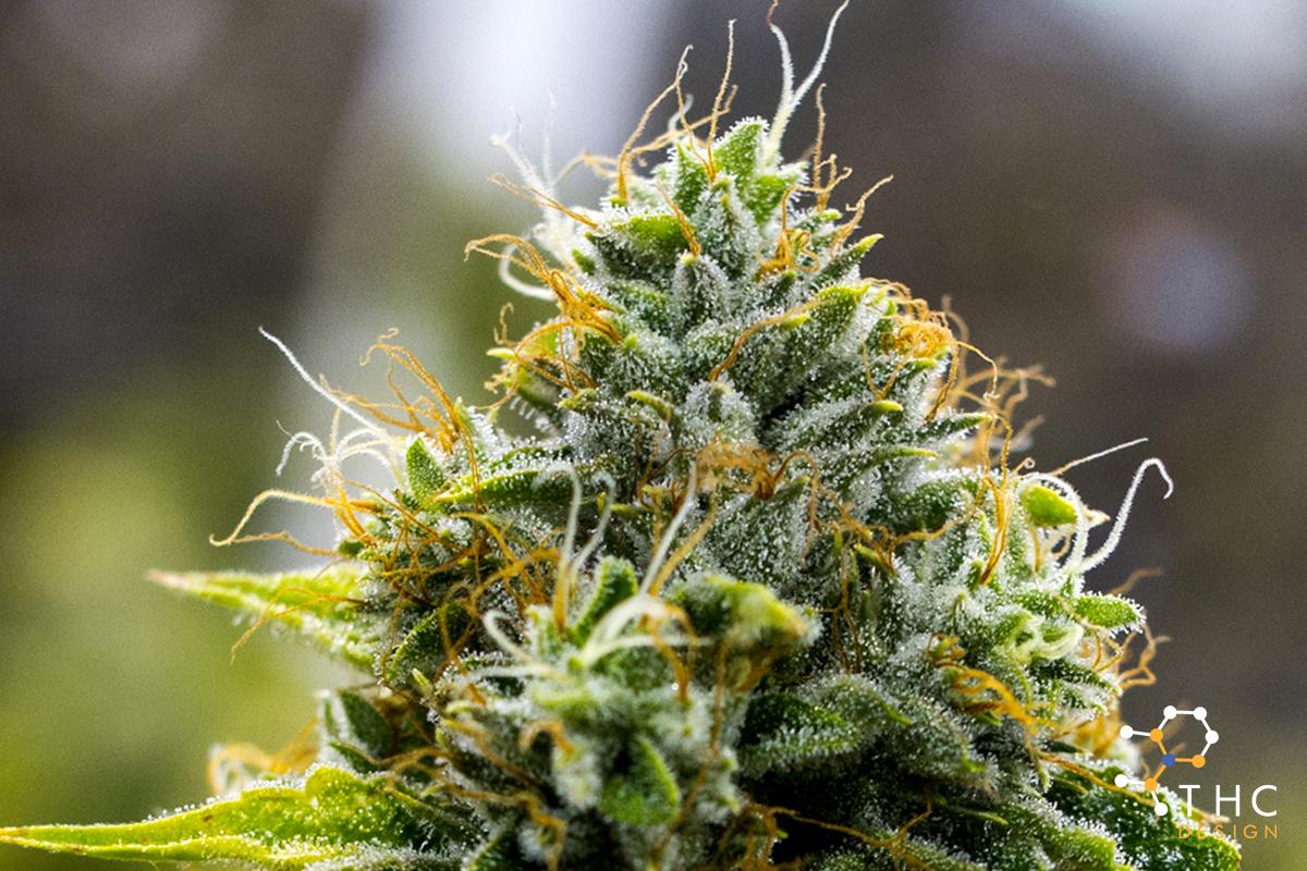 Skywalker Og Cannabis Strains Thc Design Cannabis