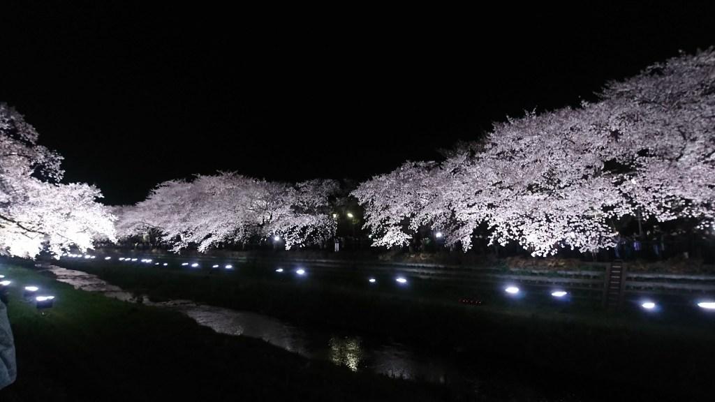 2018野川桜ライトアップ