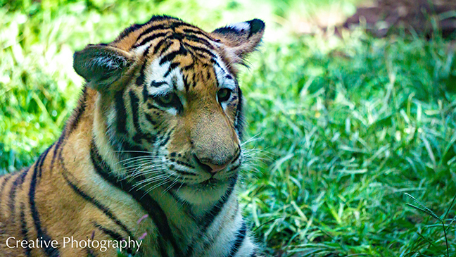 Masha Gregory Tiger
