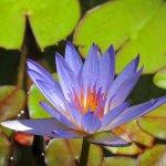 """Malcom Wang """"Water Lily"""""""