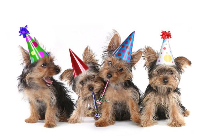 Birthday Theme Yorkshire Terrier Puppies on White