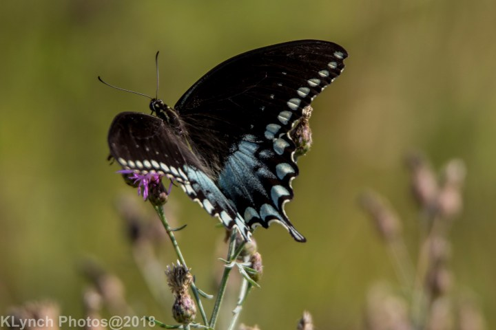 02 Swallowtail_29