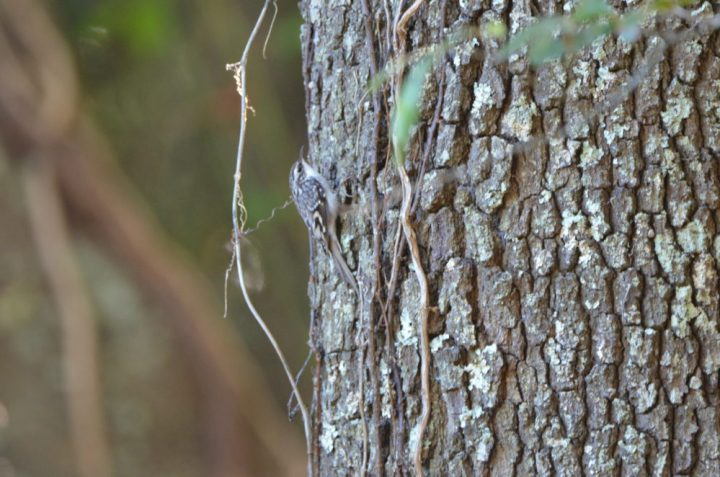 brown-creeper-2016.10.23-Dauphin-Island-AL-e1479345052902