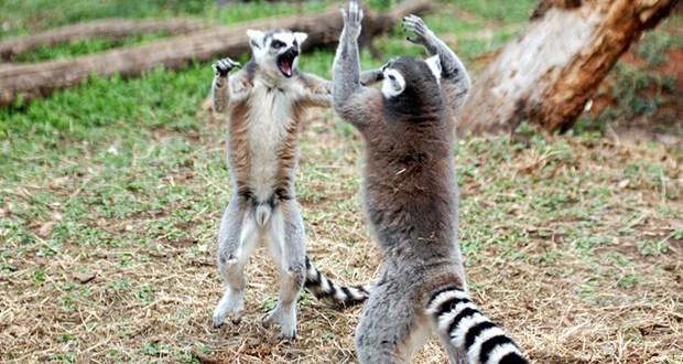 43.Lemurs-Stink-fight
