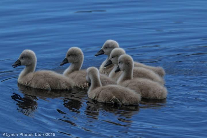 02 Swans