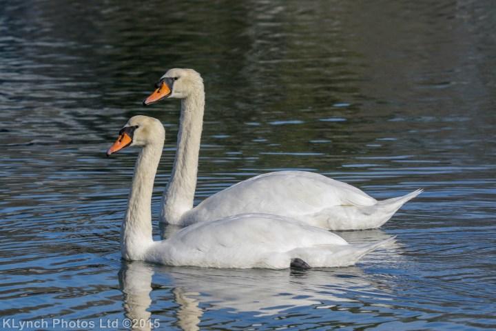 04 Swans