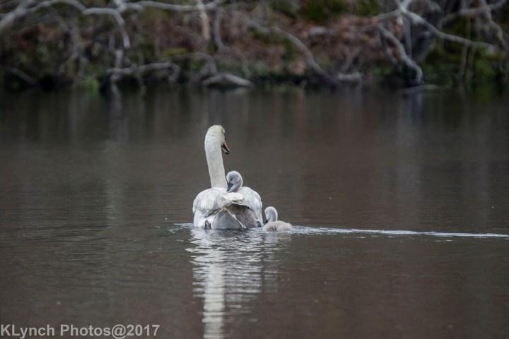 16 Swans
