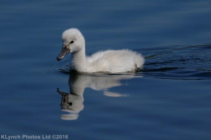 18 Swans