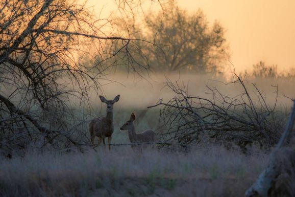 deer-at-sunrise.jpg.990x0_q80_crop-smart