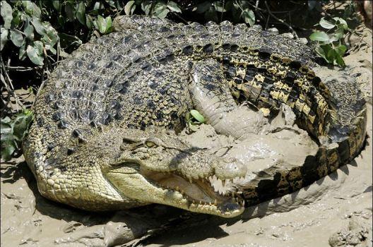 Saltwater Croc2