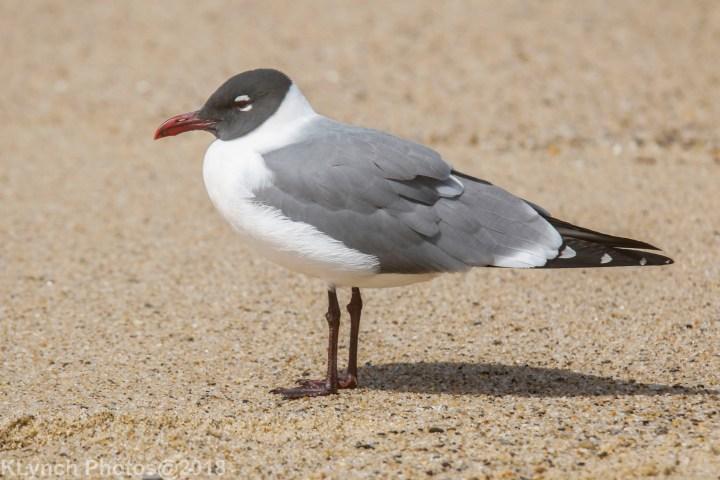 03 Gulls