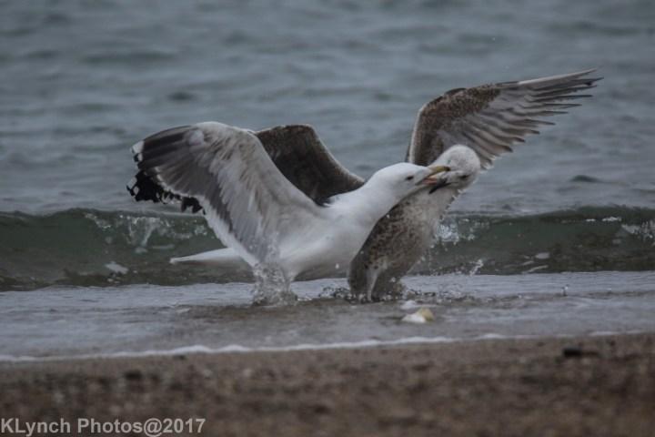 05 Gulls