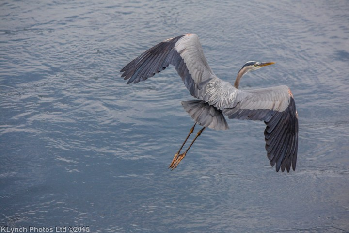 16 heron