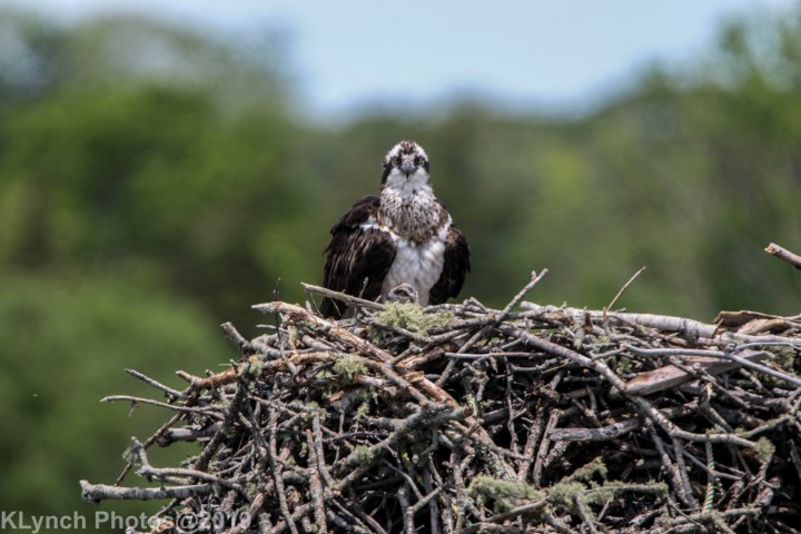 03 osprey