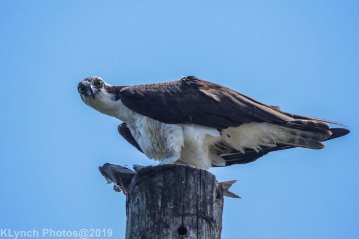 04 osprey