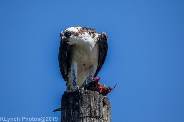 07 osprey