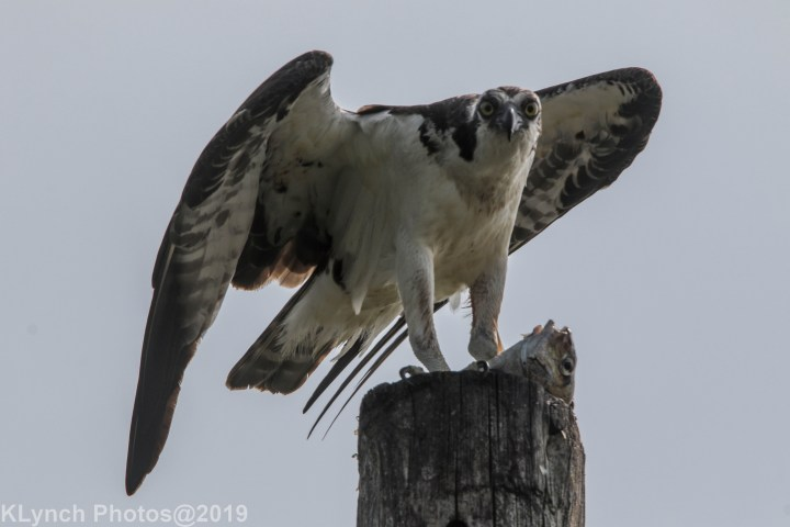 09 osprey