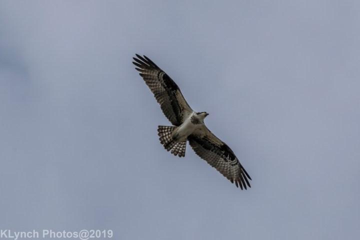11 osprey