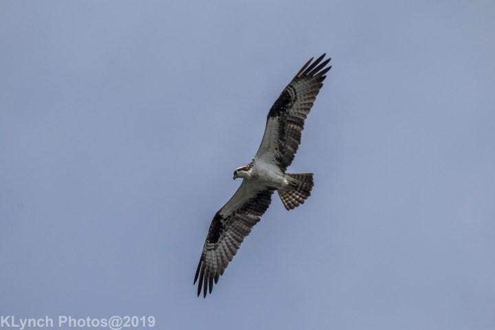 19 osprey