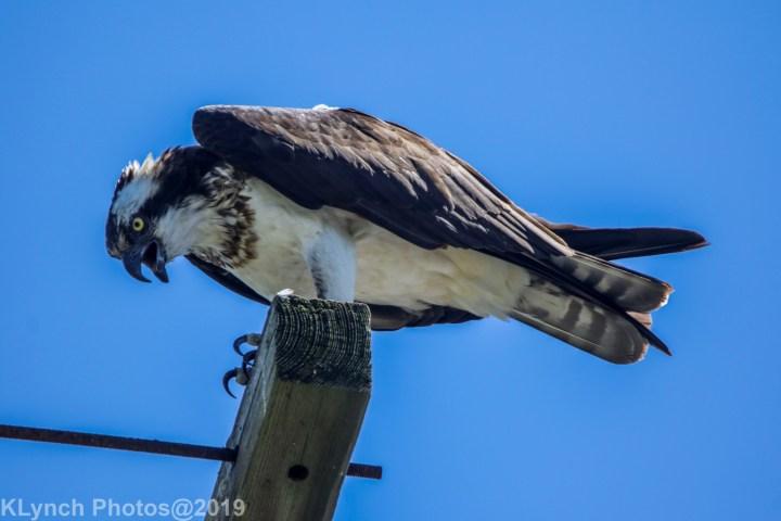 20 osprey