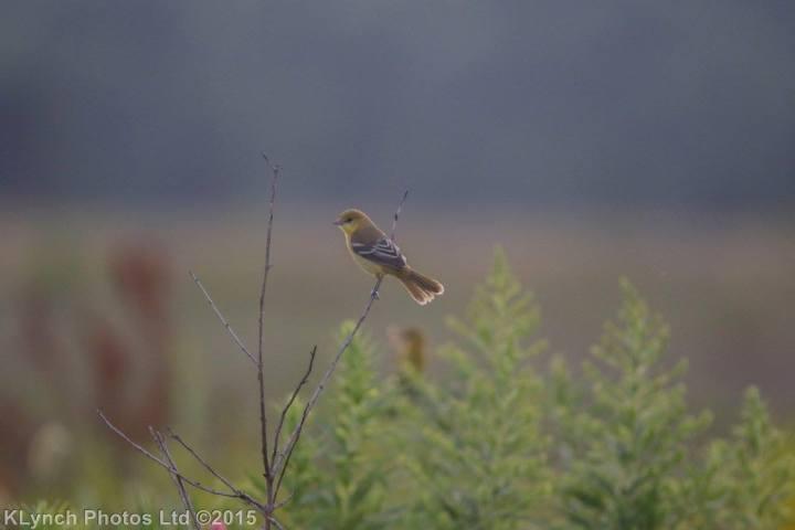 06 goldfinch