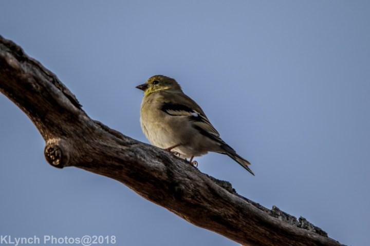 09 goldfinch