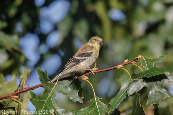 18 goldfinch