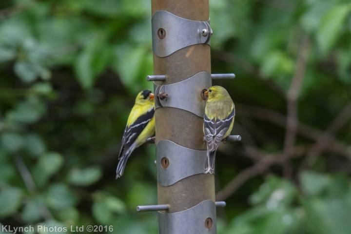 26 goldfinch