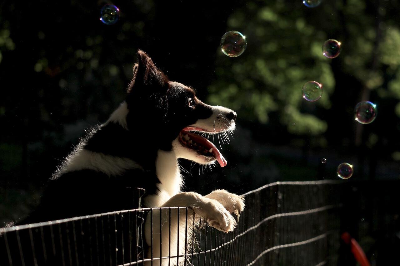 Border collie, dog treatment, dog rehab, dog rehabilitation, dog osteopathy