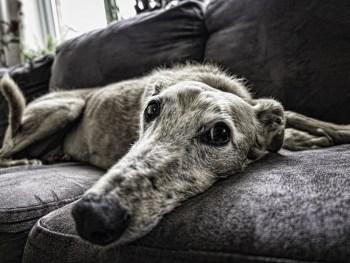 old dog, dog arthritis, dog treatment, dog rehab, dog rehabilitation, dog osteopathy