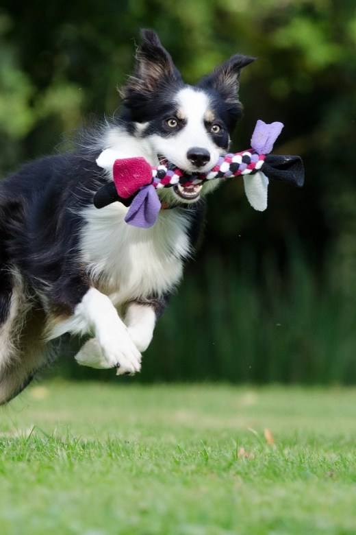 Border collie, dog agility, dog rehab, dog rehabilitation, dog treatment, dog osteopathy