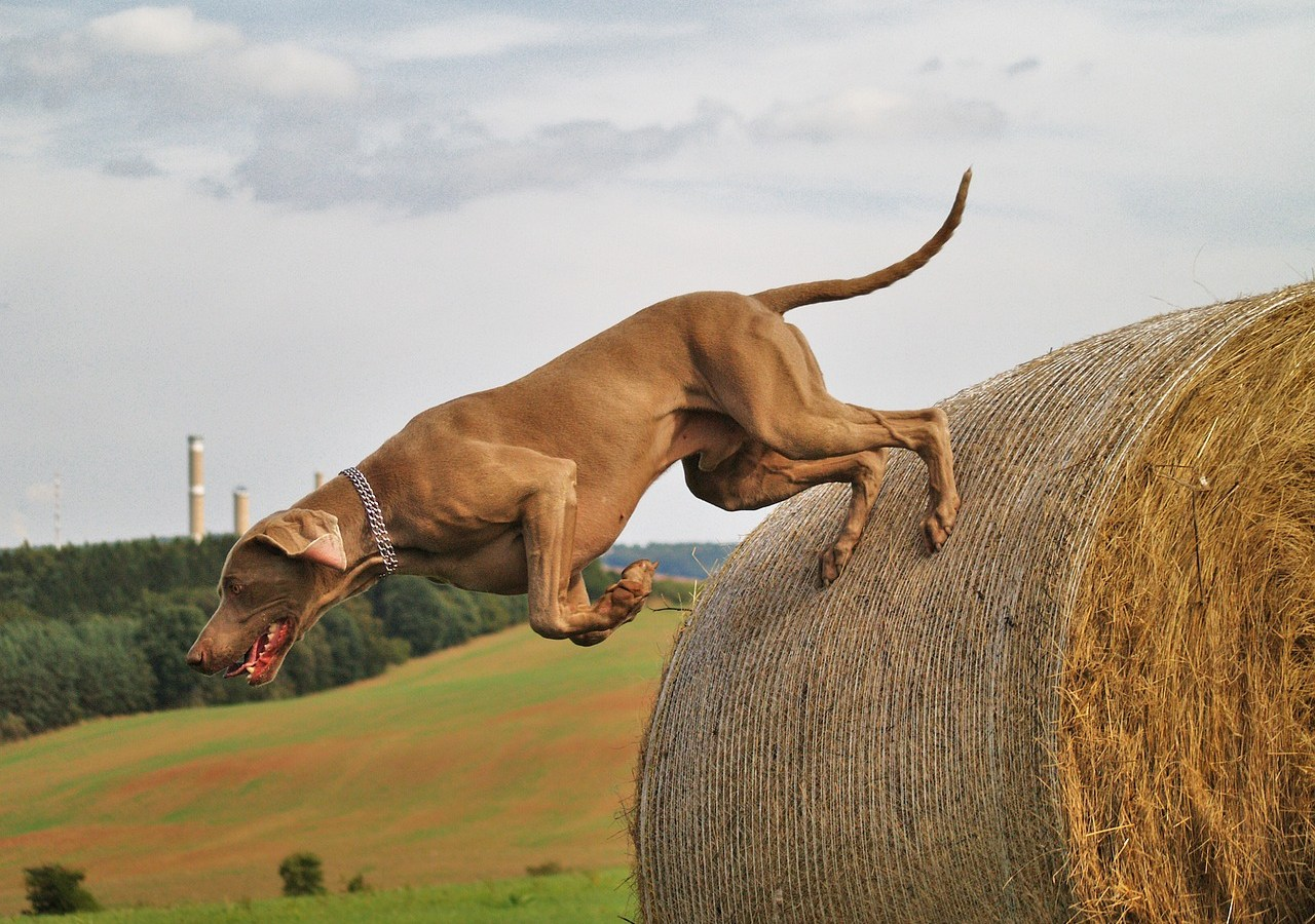 dog jumping, dog triceps injury, dog treatment, dog rehab, dog osteopathy, dog rehabilitation