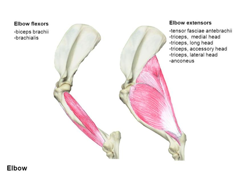 Triceps Injuries in Dogs   The Balanced Dog