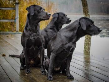 labrador, dog, labrador retriever