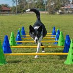 cavaletti in dogs, dog cavaletti, dog trot poles