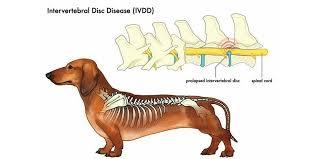 dog IVDD, dachshund IVDD, ivdd in dogs