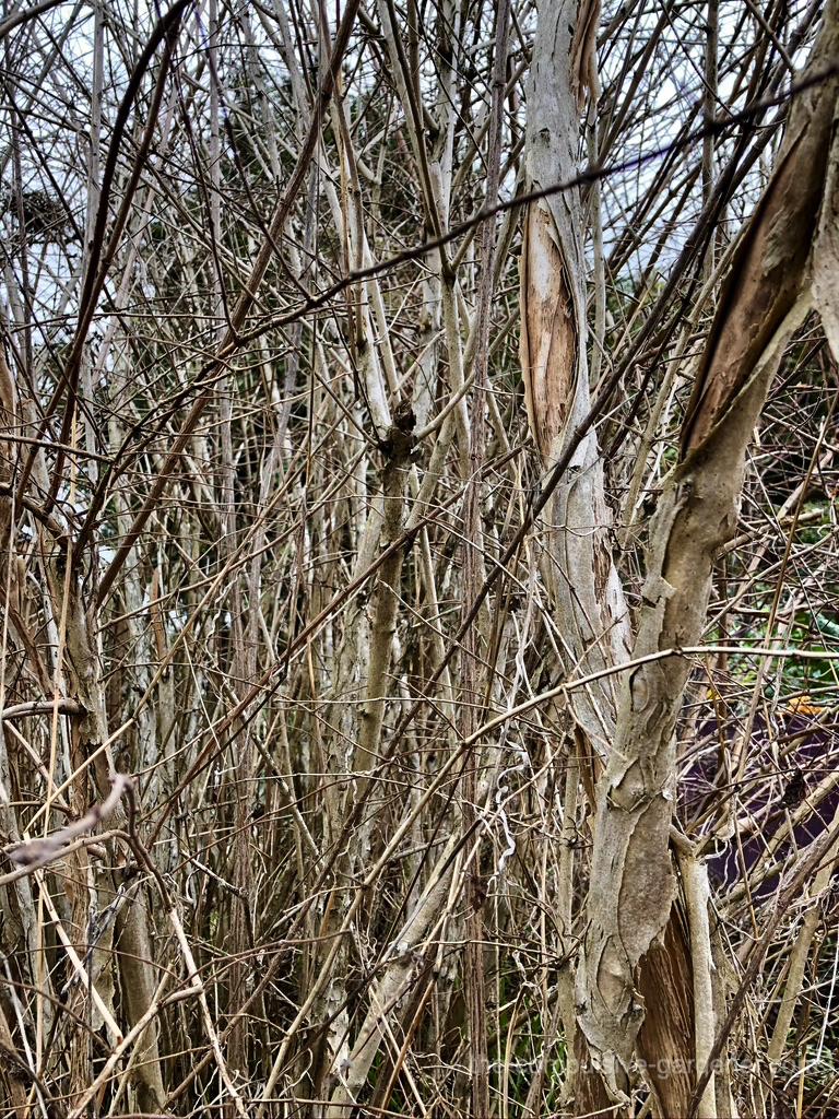 Weigela bark