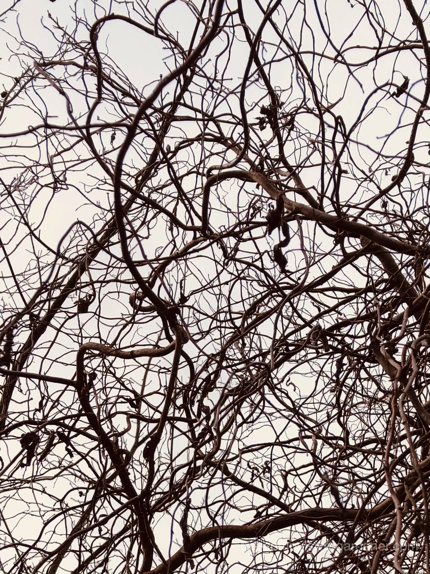 Curly Willow branches in winter