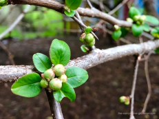 Flowering quince buds